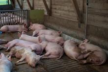Schweine Schlafen