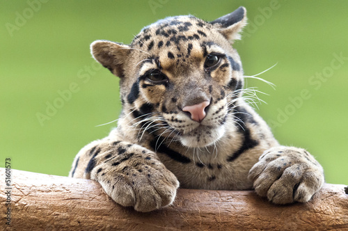 Poster Leopard A Clouded leopard
