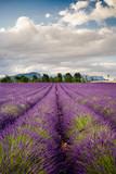 Fototapeta Krajobraz - Campi di Lavanda a Valensole Provenza, Francia