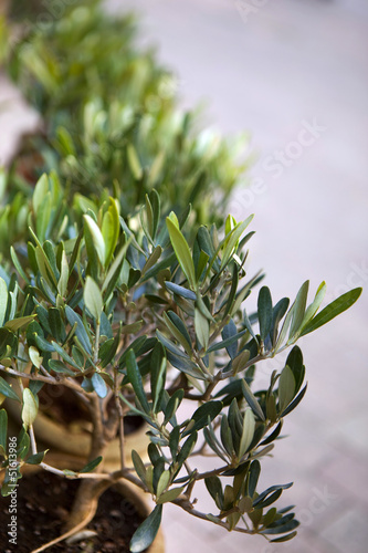 Olivier, olives, arbre, Provence, jardin, plante, jardinage - Buy ...