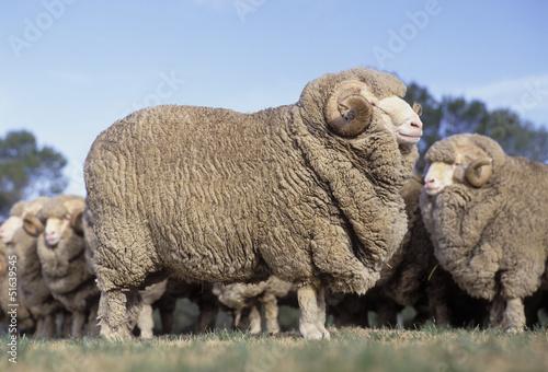 Papiers peints Sheep Merino rams