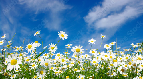 Spoed Foto op Canvas Madeliefjes white daisies