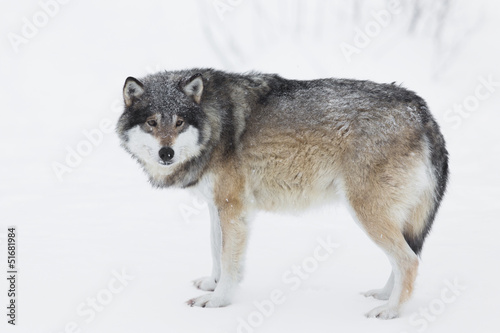 Foto op Aluminium Wolf One Wolf in the Snow