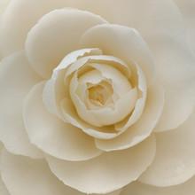 Closeup Of A White Camellia Flower
