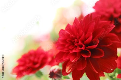 Crédence de cuisine en verre imprimé Dahlia red dahlia flower