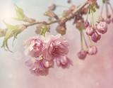Różowy kwiat wiśni - 51739597