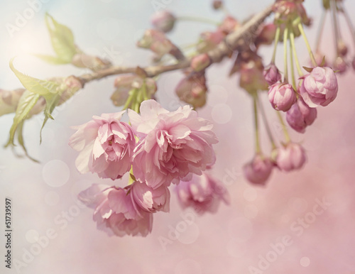 Obraz Pink cherry blossom tree - fototapety do salonu