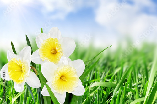Garden Poster Macro Beautiful spring flowers : -white narcissus (Daffodil).