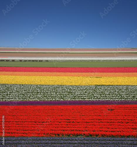 Paesaggio tulipani Olandesi