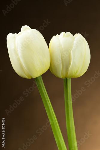 Białe tulipany - 51754456