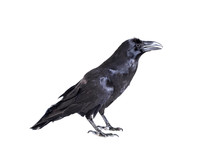 Common Raven (Corvus Corax), 2...