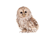 Ural Owl (Strix Uralensis), Isolated On White