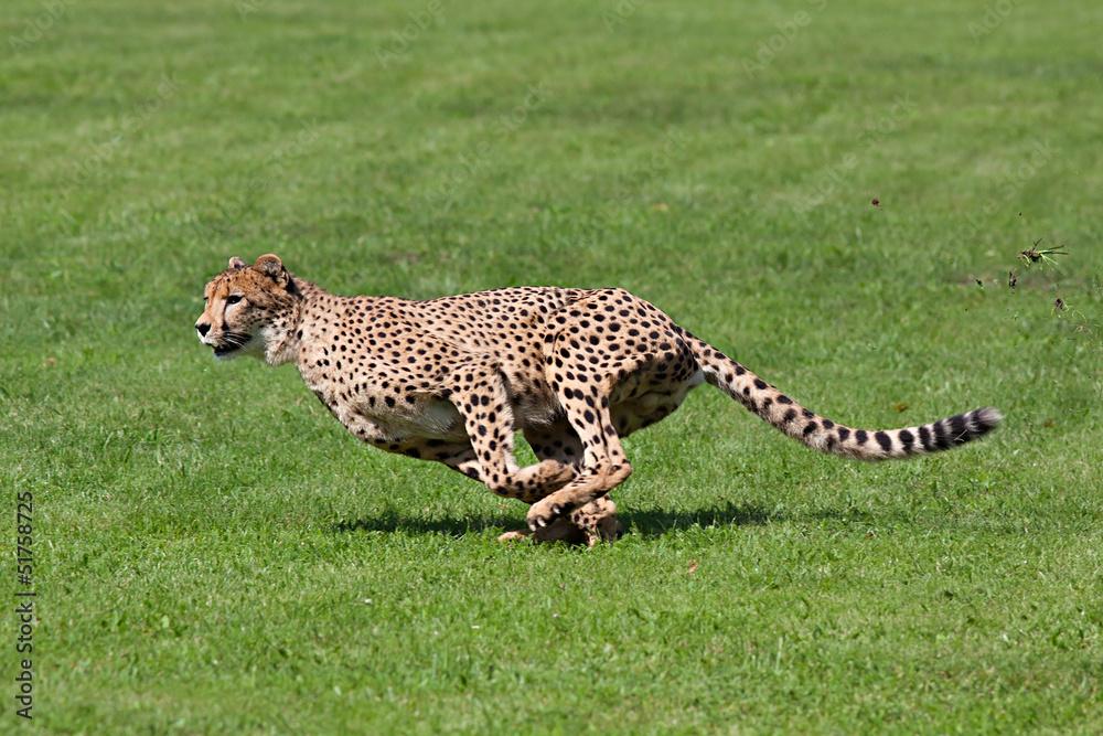 39 gepard zum ausmalen  besten bilder von ausmalbilder
