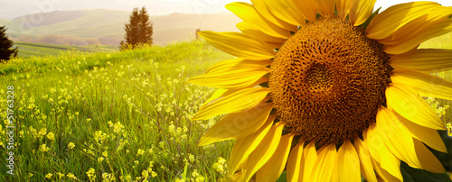 landscape with sunflowers in Tuscany, Italy - 51763228