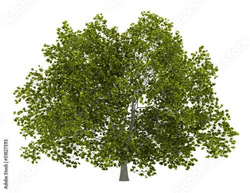 Fototapeta american beech tree isolated on white background