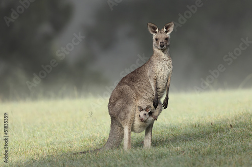 In de dag Kangoeroe Eastern Grey Kangaroo with joey