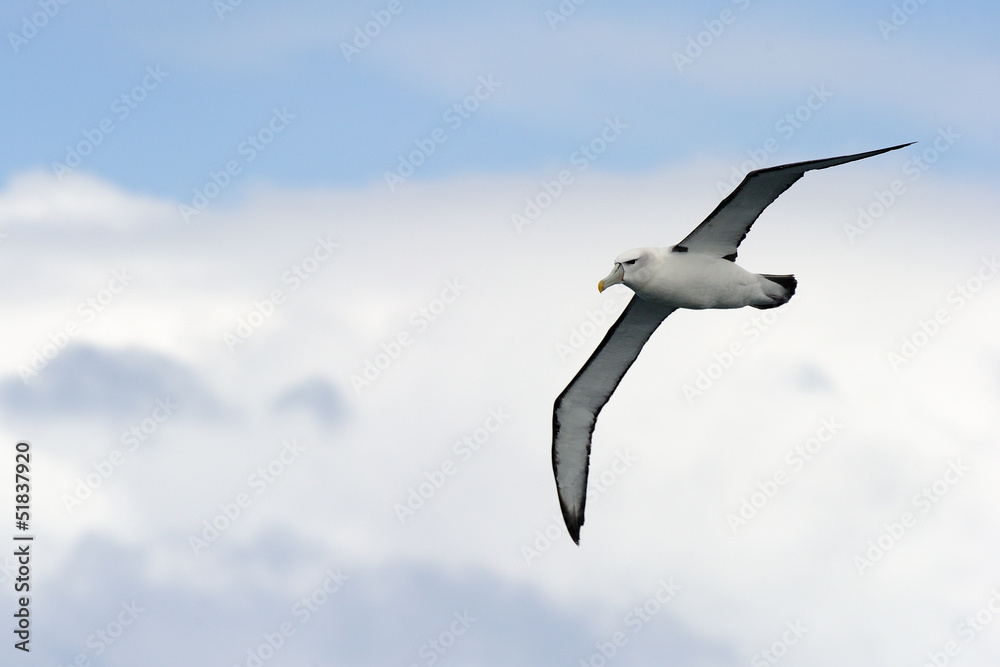 Fényképezés Black-browed Albatross flying against sky.