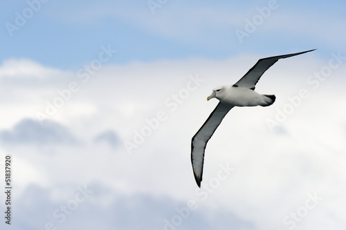 Valokuva  Black-browed Albatross flying against sky.