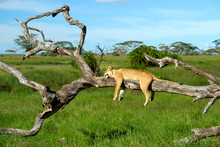 Lioness Sleeping On A Tree In A Funny Pose