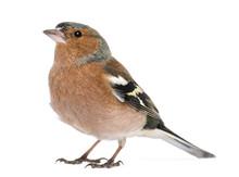 Male Common Chaffinch - Fringi...