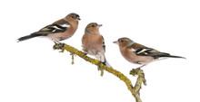 Three Common Chaffinch On A Branch, Fringilla Coelebs