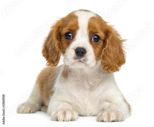 Fotografia Cavalier King Charles Puppy lying and facing, isolated on white