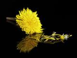 flor diente de león