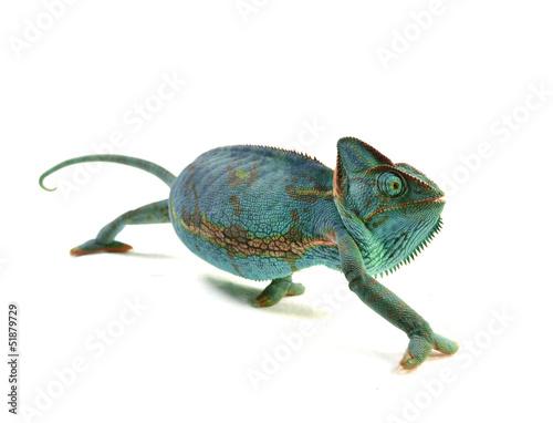 Foto op Aluminium Kameleon Chamaeleo calyptratus