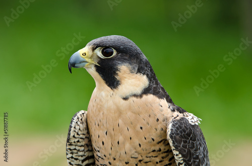Photo  Peregrine Falcon (Falco peregrinus), aka Duck Hawk
