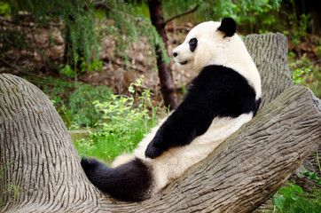 Fototapeta Giant panda resting on log