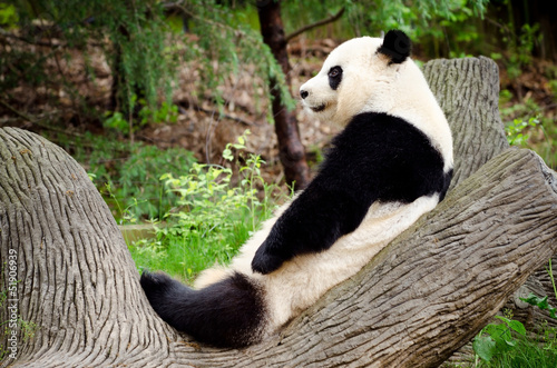 Fotografija  Giant panda resting on log