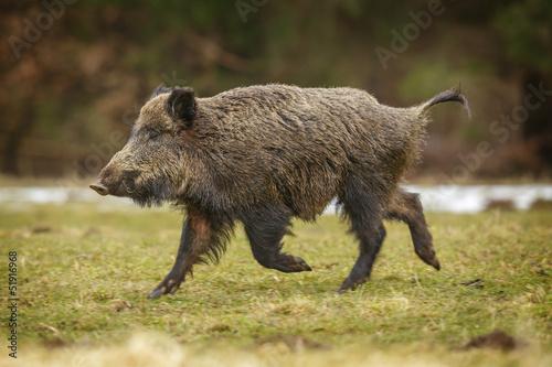 Wild boar running Fototapeta