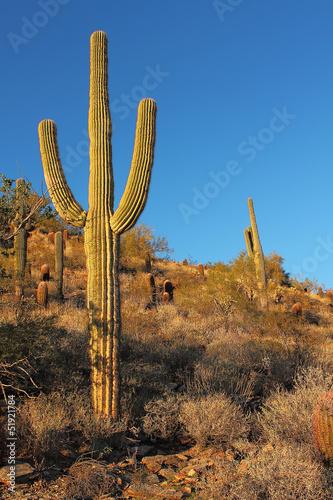 Papiers peints Cactus Sonoran desert landscape and cactus details