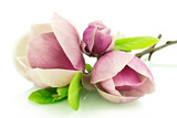 Fototapeta Kwiaty - Magnolie na białym tle