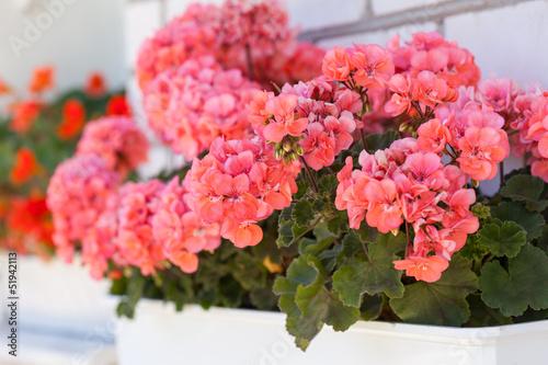 Obraz na plátně garden geranium flowers