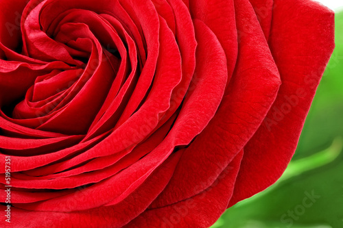 Macro Beautiful red rose flower. Closeup.