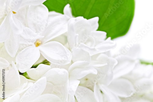 Macro Beautiful white Lilac . Isolated over white .