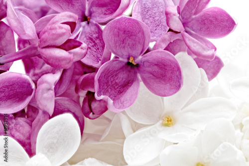 Keuken foto achterwand Macro Beautiful Bunch of violet and white Lilac