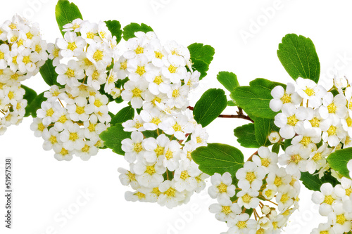 Spoed Fotobehang Macro Beautiful white flowering shrub Spirea aguta (Brides wreath).