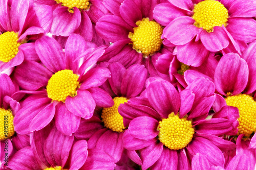 Recess Fitting Macro Beautiful violet red dahlia flowers.Сloseup