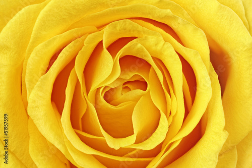 Tuinposter Macro Beautiful yellow rose flower. Сloseup