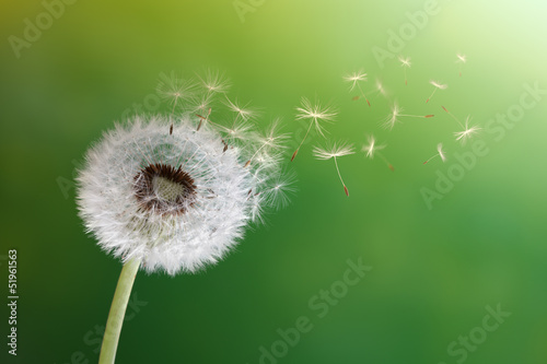 Montage in der Fensternische Lowenzahn Dandelion clock in morning sun