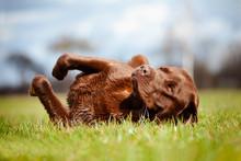 Brown Labrador Dog Rolling On ...