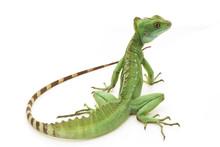 Green Basilisks