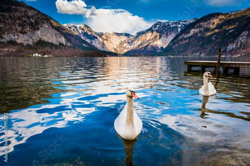 Fotografie, Obraz  Swan at Hallstatt