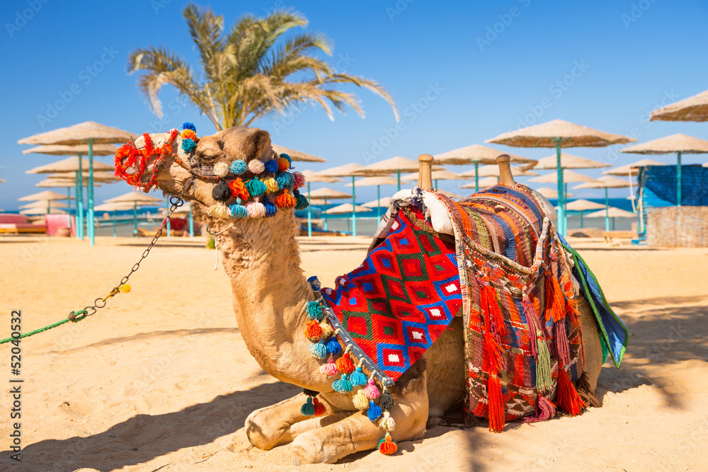 Fototapeta Camel resting in shadow on the beach of Hurghada, Egypt
