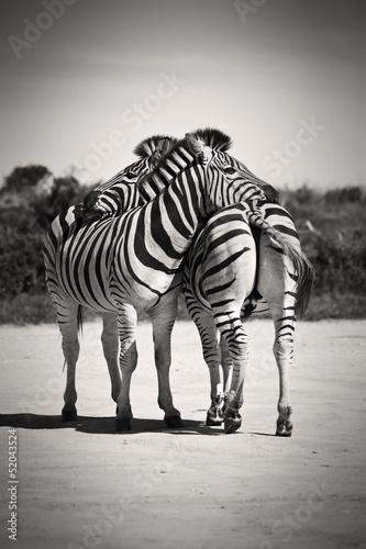 zebra-milosc