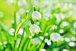 Leinwandbild Motiv White Spring snowdrops, close-up