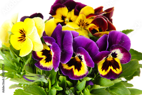 Spoed Foto op Canvas Pansies Beautiful pansies flowers isolated on a white