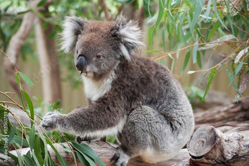 Staande foto Koala native Australian Koala